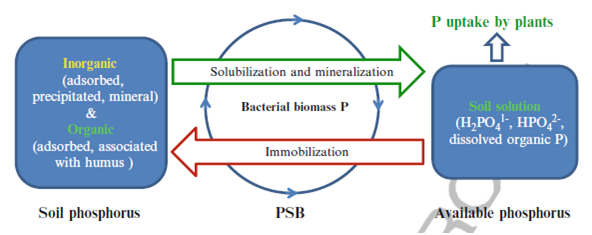 thesis on phosphate solubilizing bacteria Isolation of phosphate solubilizing bacteria from maize rhizosphere and their potential for rock phosphate solubilization–mineralization and plant growth promotion.